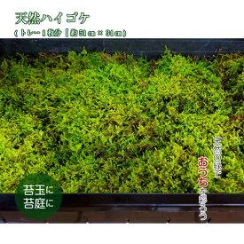 苔 苔玉 観葉植物 テラリウム 【天然ハイゴケトレー1枚分(約51cm×34cm)】 苔テラリウム