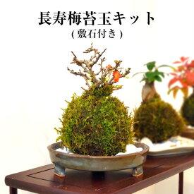苔 父の日 苔盆栽 苔玉 【 長寿梅苔玉キット 】