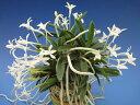 【富貴蘭】玉金剛(たまこんごう)3条/ 花 蘭 古典植物 フウラン