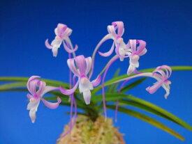 【富貴蘭】紅雀(べにすずめ)2-3条/ 花 蘭 古典植物 フウラン