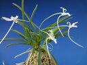 【富貴蘭】胡蝶の舞(こちょうのまい)1条/ 花 蘭 古典植物 フウラン