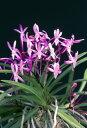 【富貴蘭】朱天王(しゅてんのう)3-4条/ 花 蘭 古典植物 フウラン