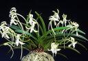 【富貴蘭】翡翠(ひすい)1条/ 花 蘭 古典植物 フウラン