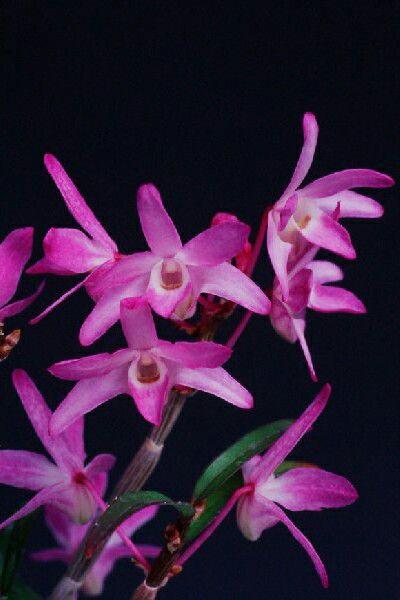 【石斛花物(セッコク)】紫苑(しえん)/5〜6条