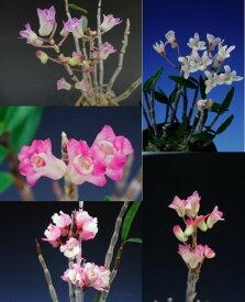 【石斛花物(セッコク)】兜咲き5種セット