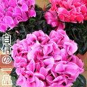 【送料無料】シクラメン鉢植え 6号鉢【花色おまかせ】(ピンク〜ローズ〜赤系)【数量限定】御歳暮他冬のギフトに【…