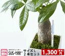 ★2本セット★【メール便で送料無料】水分計サスティー(Lサイズ)【6から12号鉢用】水やり,観葉植物,洋蘭,多肉植物