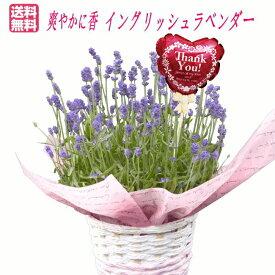 【母の日ギフト】イングリッシュラベンダー鉢植え【楽ギフ_包装】