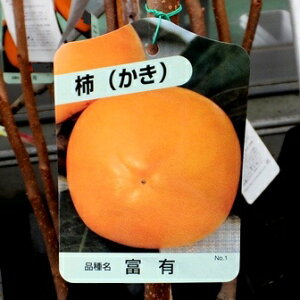 【果樹苗】富有柿(甘柿)【苗木】【落葉】