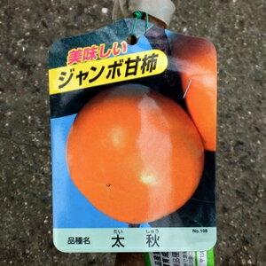 【果樹苗】太秋柿(甘柿)【苗木】【落葉】(タイシュウ)