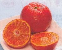 【果樹苗】小原紅早生【おはらべにわせ】(温州みかん)【柑橘類】【RCP1209mara】
