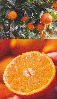 クレメンティンの果実