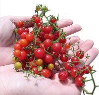 マイクロトマトの種