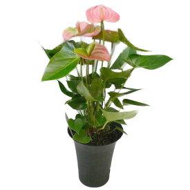 観葉植物 アンスリウム ピンク 6号鉢 黒丸鉢 セラアート鉢 受け皿付き