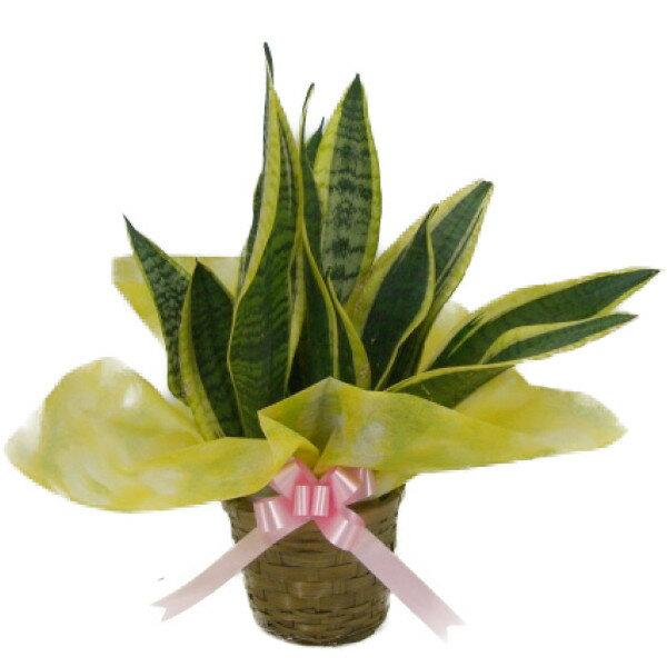 観葉植物 サンセベリア(トラノオ) 4.0号 かご・受け皿付き