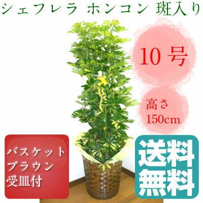 観葉植物 シェフレラ ホンコン 斑入り カポック 10号鉢 ブラウンバスケット 大鉢 受皿付【送料無料】