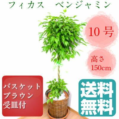 観葉植物 フィカス ベンジャミン 10号鉢 ブラウンバスケット 大鉢 受皿付【送料無料】