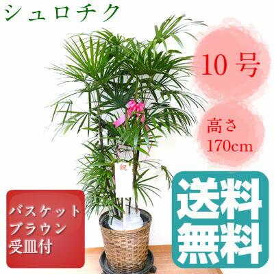 観葉植物 シュロチク 10号鉢 ブラウンバスケット 大鉢 受皿付【送料無料】