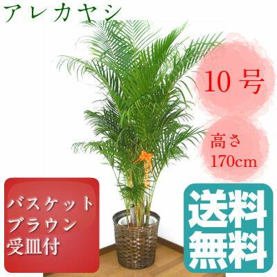 観葉植物 アレカヤシ 高さ170cm 10号鉢 ブラウンバスケット 大鉢 受皿付【送料無料】