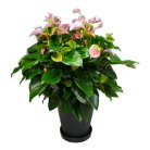 観葉植物 アンスリウム ピンク 10号鉢(尺鉢)(特大サイズ) セラアート鉢 黒丸鉢 受け皿付き …