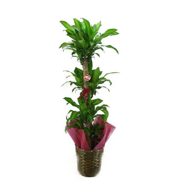 【個人宛配送不可】 観葉植物 ドラセナ フレグランス マッサンゲアナ 幸福の木 10号鉢 ブラウンバスケット 大鉢 受皿付