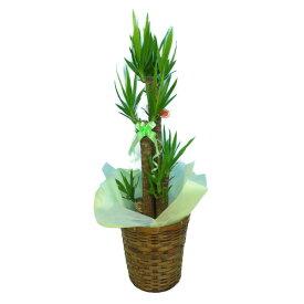 観葉植物 ユッカ エレファンティペス 青年の樹 8号鉢茶かご 受け皿付き ブラウンバスケット 高さ100〜120cm程度 中型 大型 インテリアグリーン ギフト 寒さに強い