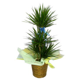 観葉植物 ドラセナ コンシンネ マジナータ(マルギナータ) 真実の木 8号鉢 茶かご 受け皿付き ブラウンバスケット 高さ100〜120cm程度 中型 大型 インテリアグリーン ギフト
