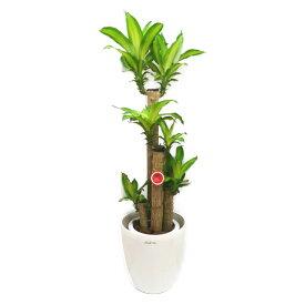 観葉植物 幸福の木 ドラセナ フレグランス マッサンゲアナ 8号鉢 白ラスターポット 受け皿付き 高さ100〜120cm程度 中型 大型 インテリアグリーン ギフト