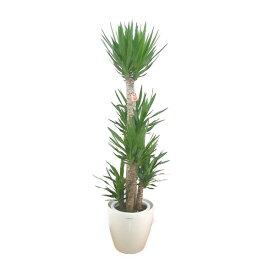 【個人宛配送不可】 観葉植物 ユッカ エレファンティペス 青年の樹 10号鉢 白ラスターポット 受け皿付き 高さ160〜180cm程度 大型 インテリアグリーン ギフト 寒さに強い