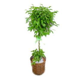 【個人宛配送不可】 観葉植物 フィカス ベンジャミン 10号鉢 茶かご 受け皿付き ブラウンバスケット 高さ150〜160cm程度 大型 インテリアグリーン ギフト ゴムの木 寒さに強い