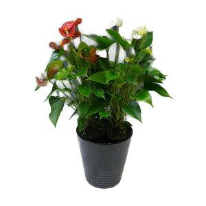 観葉植物 アンスリウム 紅白2色植え 8号鉢 黒陶器鉢 丸鉢 受け皿付き 高さ70〜80cm程度 中型 大型 インテリアグリーン ギフト (アンスリューム) 南国風 トロピカル