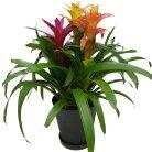 観葉植物 グズマニア 3色植え 7号鉢 黒丸鉢 受け皿付き セラアート鉢 高さ60〜70cm程度 小型…