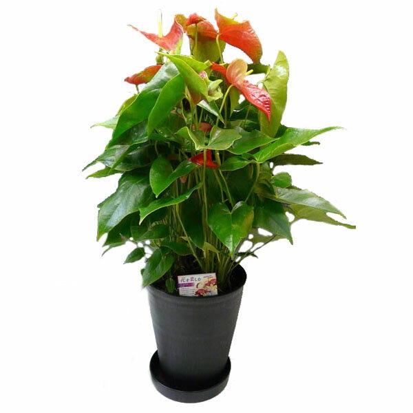 観葉植物 アンスリウム 赤 Anthurium10号鉢(尺鉢)(特大サイズ) 黒丸鉢 受け皿付き セラアート鉢 ギフト対応