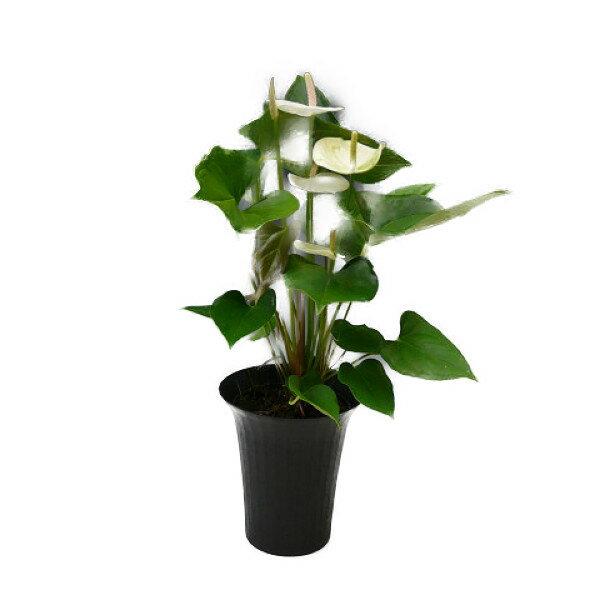 アンスリウム 白 6号鉢 黒丸鉢 セラアート鉢 受け皿付き【観葉植物】【送料無料】【あす楽対応】