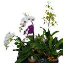 【花付き】 温室で咲いている洋蘭 10種10鉢