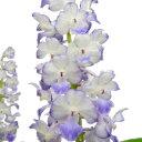 【花付き株】 リンコスチリス セレスチス Rhy.coelestis 原種 芳香あり 2.5号鉢 25cm 開花サイズ(BS)