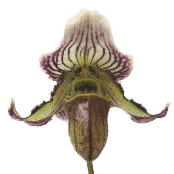 【花付き株】 パフィオペディラム フェイリアナム Paph.fairrieanum 原種 3号鉢 20cm 開花サイズ(BS)