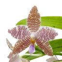 【花なし株】 ファレノプシス ヒエログリフィカ Phal.hieroglyphica 原種 3号鉢 20cm 開花サイズ(BS)
