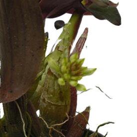 【花なし株】 デンドロビューム オフィオグロッサム Den.ophioglossum (=capituliflorum) 原種 3号鉢 15cm 開花サイズ(BS)