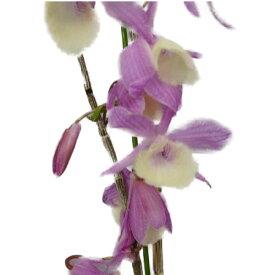 【花なし株】 デンドロビューム ピーラルディー 'ハダノピンク' Den.pieraldii 'Hadano Pink' 3号鉢 40cm 開花サイズ(BS)