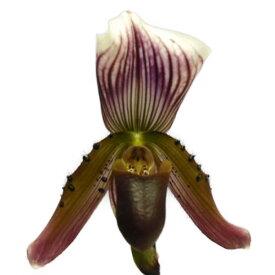 【花なし株】 パフィオペディラム カローサム Paph.callosum 原種 3号鉢 20cm 開花サイズ(BS)