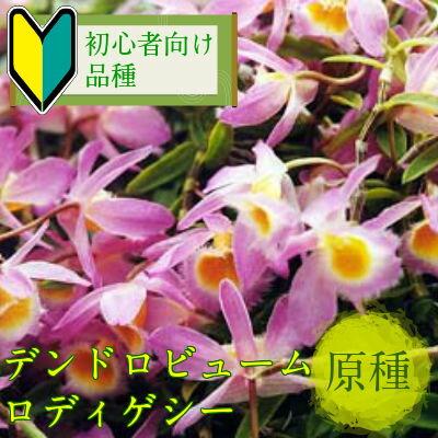 デンドロビューム ロディゲシーDen.loddigesii【花なし株】【原種】【耐寒性】
