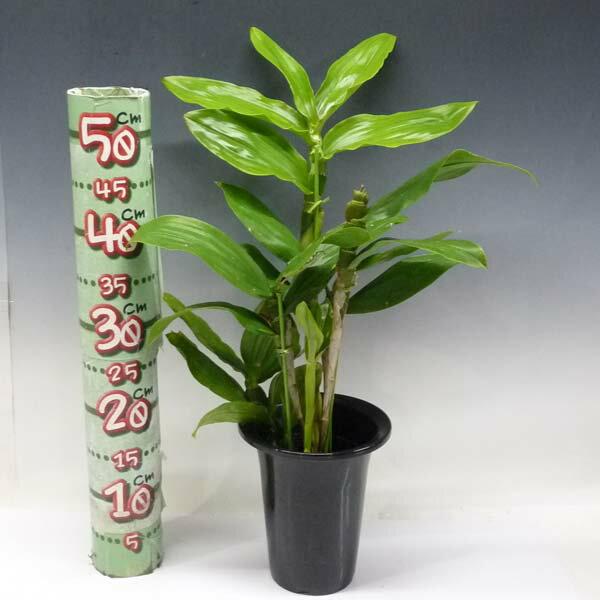 デンドロビューム サルカタムDen.sulcatum【花なし株】【原種】【開花サイズ 4号鉢】