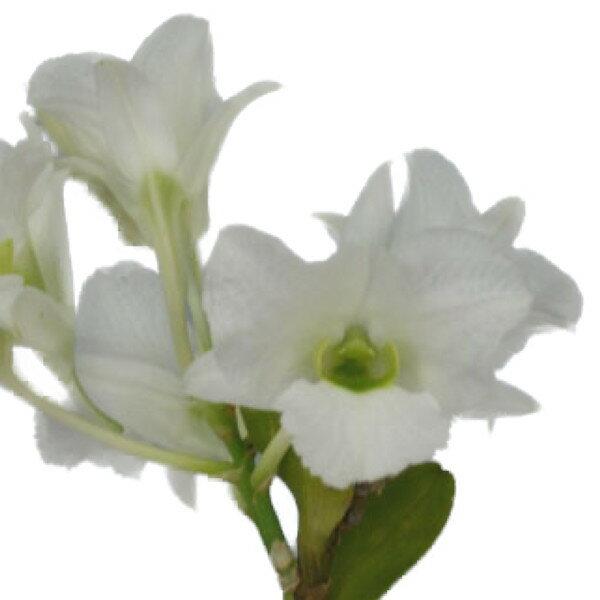 【花なし株】 デンドロビューム サンデレー ルゾニカム Den.sanderae var. luzonicum 原種 3号鉢 30cm 開花サイズ(BS)