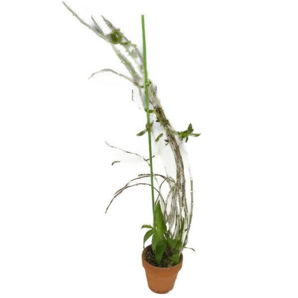 【花なし株】 デンドロビューム ピーラルディー Den.pierardii 原種 3号鉢 50cm 開花サイズ(BS)