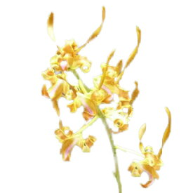 【花なし株】 デンドロビューム タンゲリナム Den.tangerinum 原種 3号鉢 30cm 開花サイズ(BS)