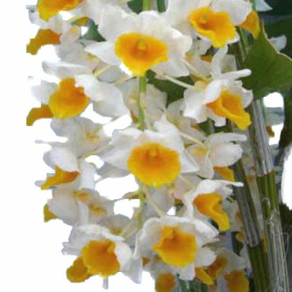 【花なし株】 デンドロビューム シルシフローラム Den.thyrsiflorum 原種 3号鉢 40cm 開花サイズ(BS)