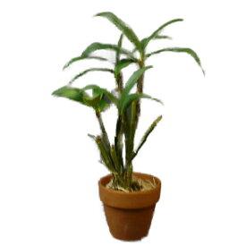 【花なし株】 デンドロビューム デンシフロラム Den.densiflorum 原種 3号鉢 35cm 開花サイズ(BS)