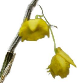 【花なし株】 デンドロビューム ハーベヤナム Den.harveyanum 原種 2.5号鉢 25cm 開花サイズ(BS)