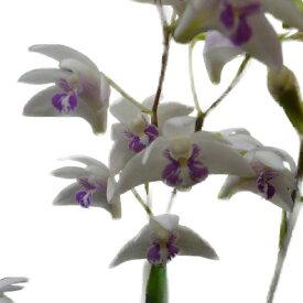 【花なし株】 デンドロビューム キンギアナム シルコッキー Den.kingianum var. silcockii 原種 コルク付き 25cm 開花サイズ(BS)